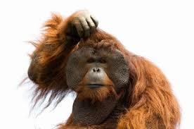 orangutan confused