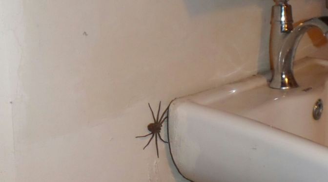 A Spider so big, it deserves a post of its own!