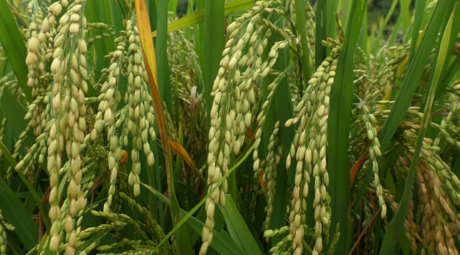 Trekking through the rice terraces of Sapa